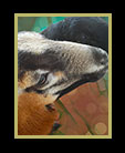 two purebred sheep in Belize thumbnail